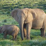 A mother elephant and her baby graze in a lush African savanna dotted with trees.