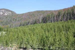 Photo showing widespread tree death caused by mountain pine beetle outbreak.