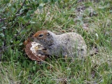 An Arctic ground squirrel snacking on a fungus in the tundra.