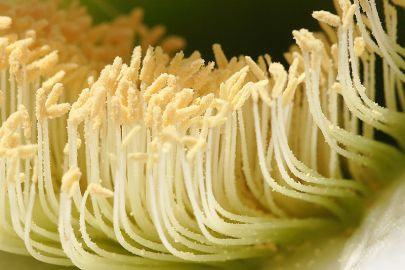 Tall, skinny anthers from a cactus plant, coated with pollen at the tips.