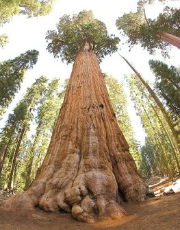 470px-General_Sherman_tree_looking_up