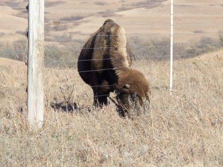 Bison poking its head through the fence to get to the uneaten grass on the other side.