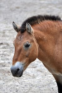 The endangered Przewalski's horse, the only true wild horse species left in the world, lives in Asia. Wikimedia Commons.
