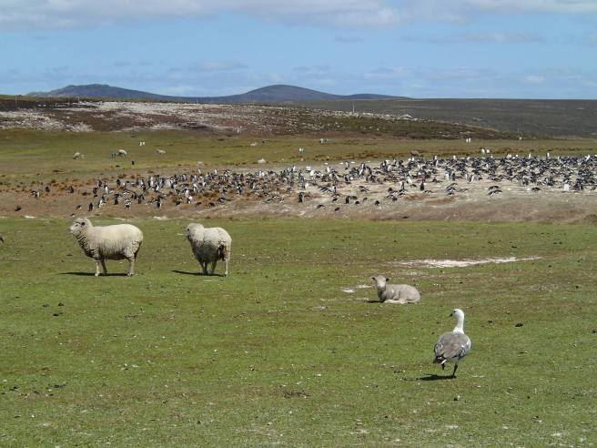 Non-native sheep and native upland goose graze in front of a king penguin rookery. The large fuzzy brown balls are last year's chicks. Sheep grazing has done a number on penguin habitat, but it's an important part of the island's economy, too. We're hoping our work can provide useful data to support the coexistence of both.