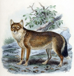 "The Falkland Islands Wolf, or ""warrah."" Historic accounts say it used to swim out to boats, tail wagging. John Gerrard Keulemans, from St. George Mivart's Dogs, Jackals, Wolves, and Foxes: A Monograph of the Candidae, published by R. H. Porter, London, 1890. Lithography by Mintern Brothers. Public domain."