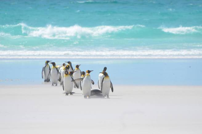 Penguins lined up to give to our campaign! #fakepenguinfacts (King penguins, Volunteer Point, Falklands.) Photo by the author.