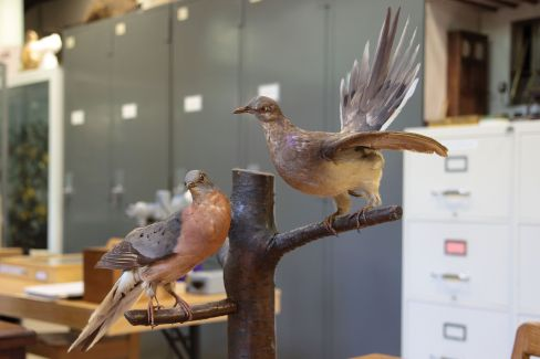 Male and female taxidermied passenger pigeons, University of Laval (Wikimedia Commons). Because there are so many specimens, it went extinct so recently, and it played an important role in eastern forests, passenger pigeons have been suggested as an excellent test case for de-extinction.